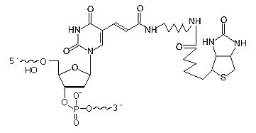 Biotin dT