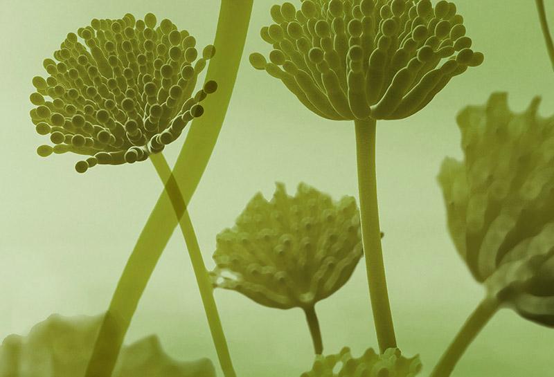 gb MICRO Aspergillus fumigatus